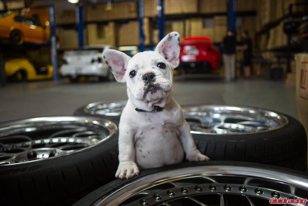 french-bulldog-work-wheels-1